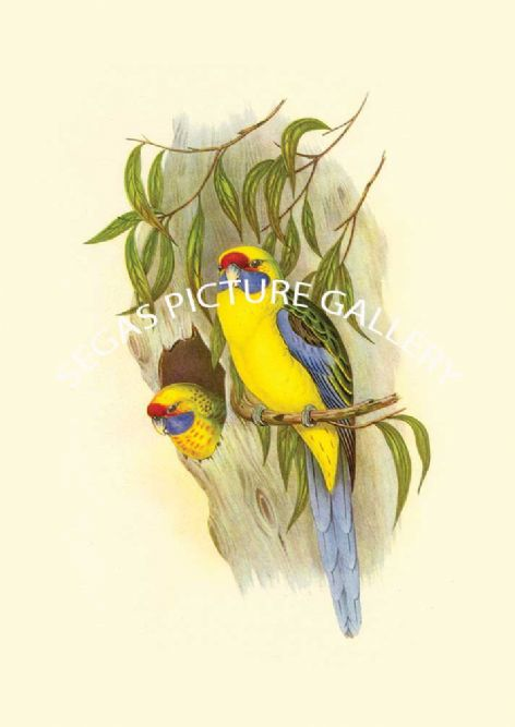 Fine art print of the Yellow Bellied Parakeet by John Gould (1838-40)